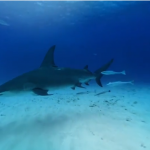 Hammerhead Shark in the ocean 3D and 360°, do you dare to swim with them?