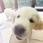 Golden Retriever puppies even more cute in 360°