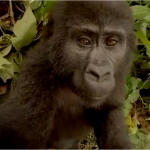 Mountain Gorillas VR: Let's find out what it's like to be part of their herd