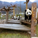 Giant panda bears: live a whole day with the most adorable animal in 360