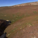 Golden eagle, a exceptional animal in 360