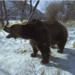 Grizzly Bear in 360 and 3D: You'll survive his attack?