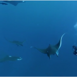 Devil ray swim: join this peculiar aquatic family in 360 format