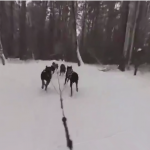 Dog sled races: Reach the podium from the perspective of 360