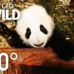 Baby pandas in VR and 360