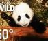 Baby Pandas Vr videos