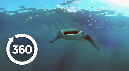 Swim with Mantas using VR